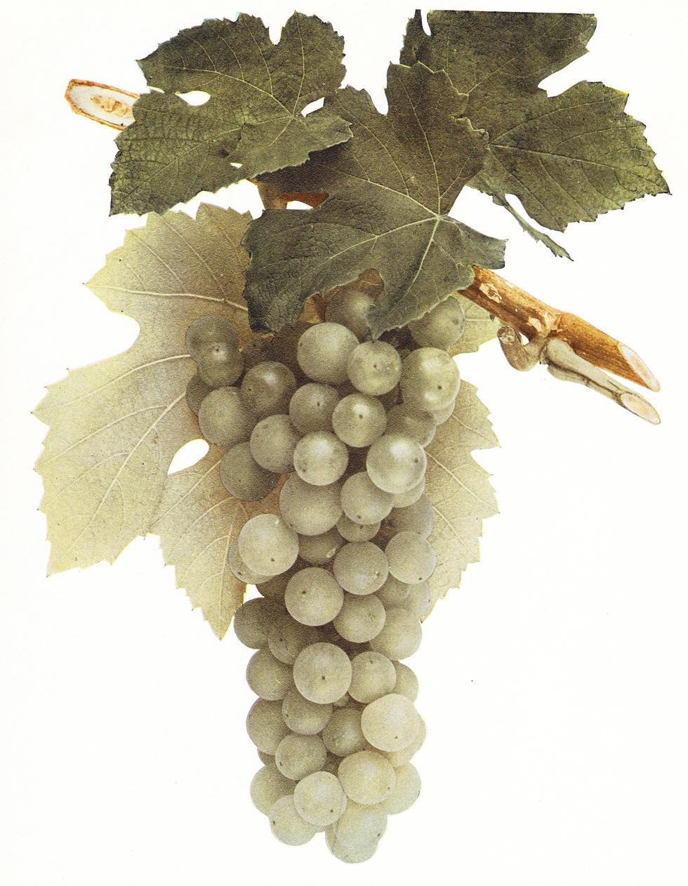 Croton_grape