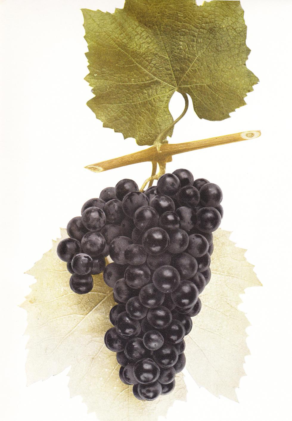 Senasqua_grape