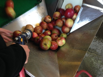 When the apples come out they're given a final spray and any twigs or leaves are removed.